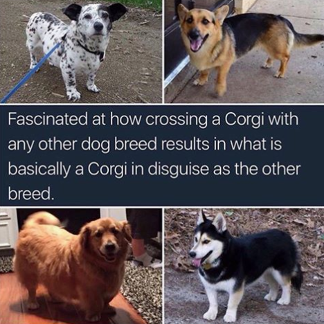 Corgi meme described in text