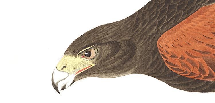 Audubon Birds Of America Louisiana Hawk Png Mltshp