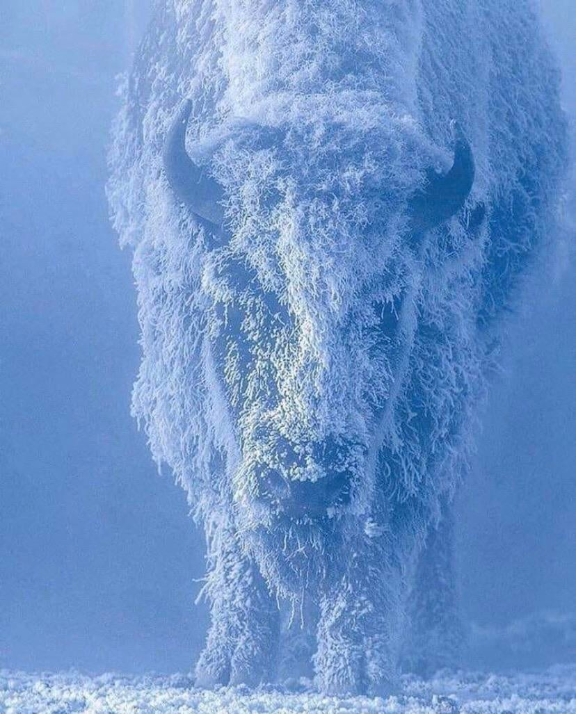 Frosted bison