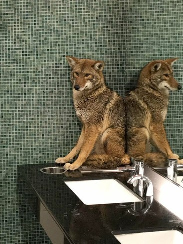 coyote restroom attendant