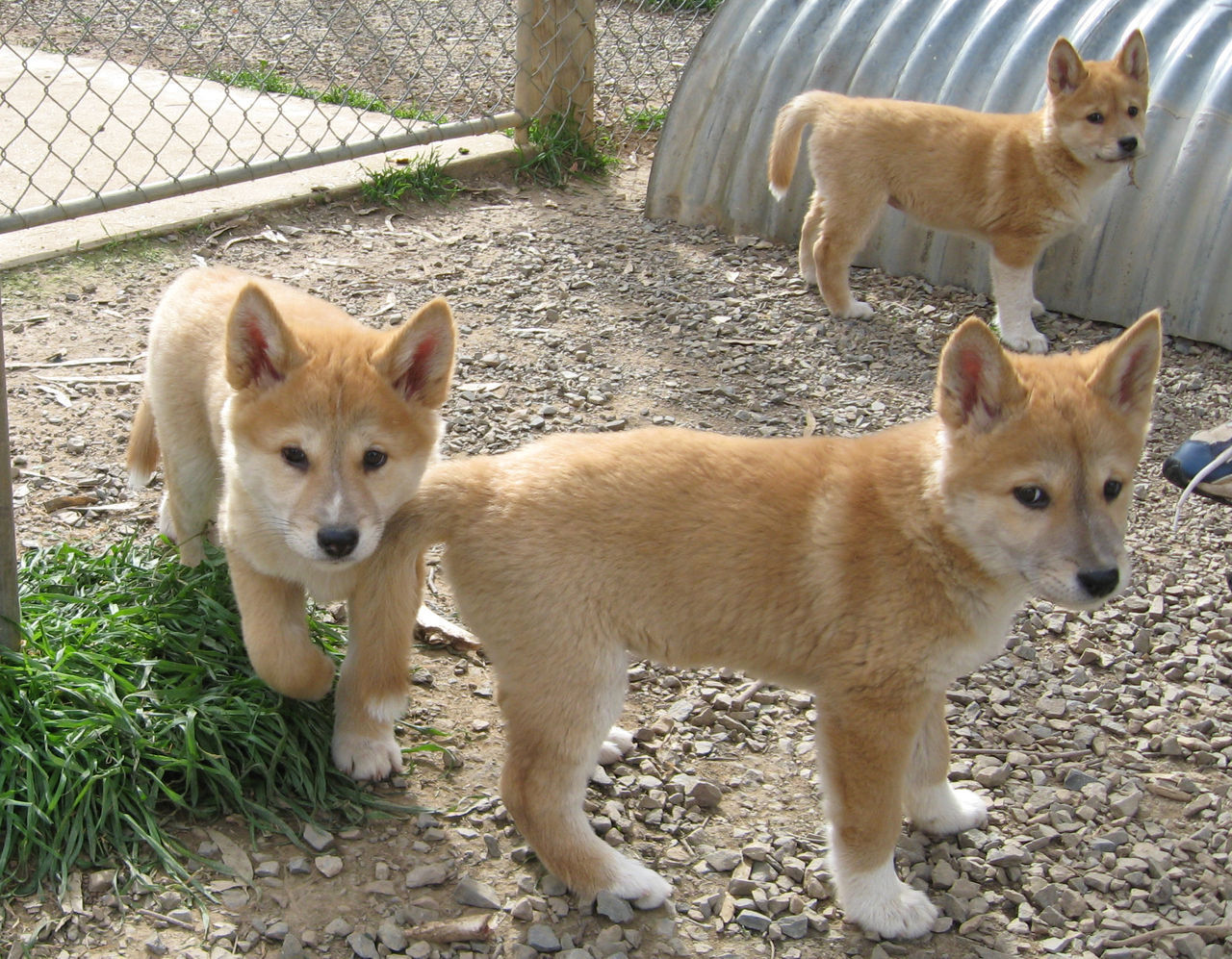 Mltshp - - Babies Babies Dingo Dingo Mltshp Dingo Babies